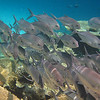 Maldivian Reef Life : Maldivian Sea Life