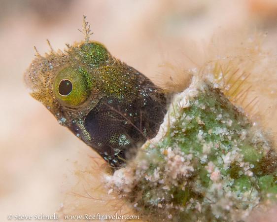 Spinyhead Blenny, Bari Reef